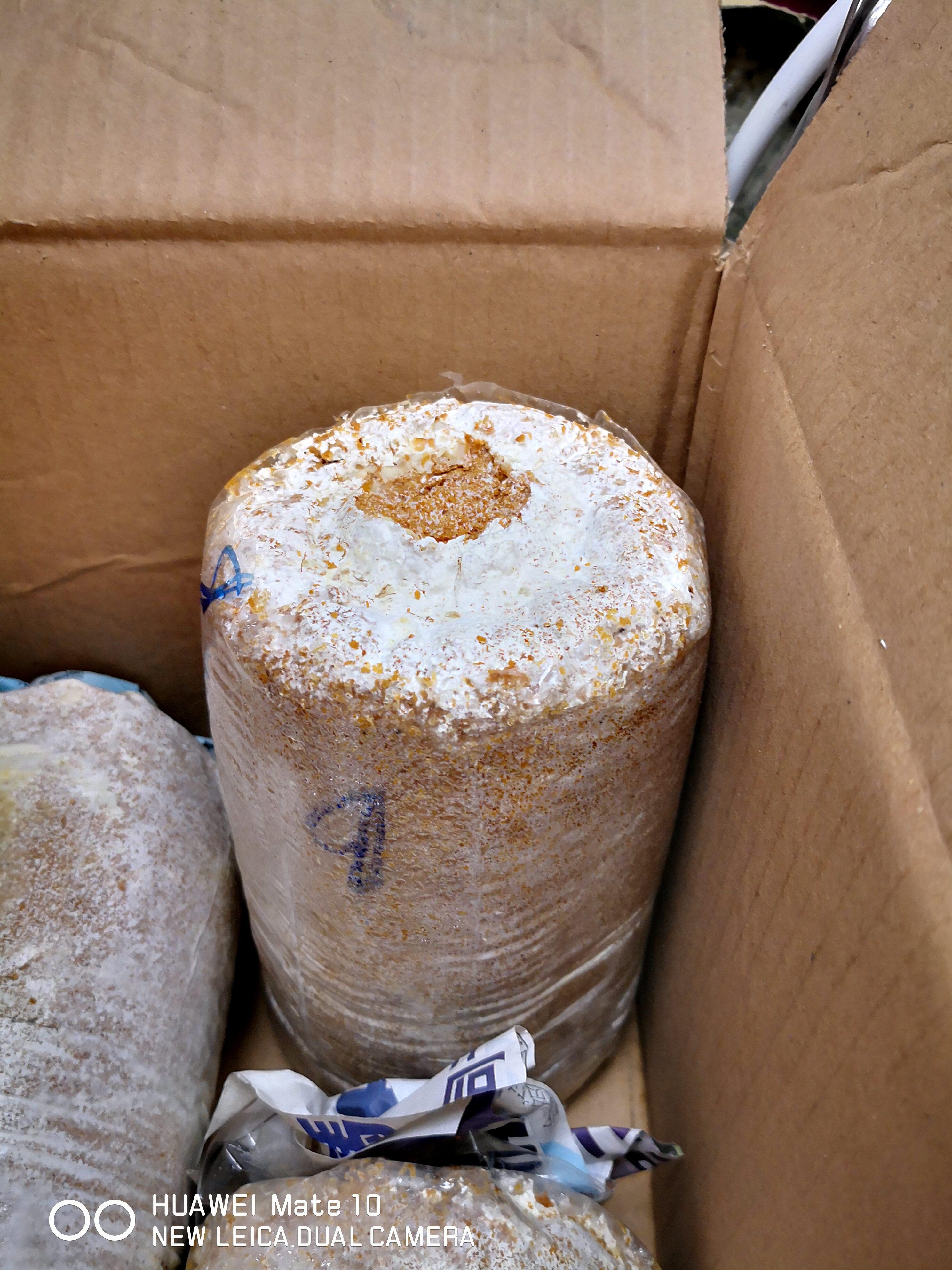初次种植灰蚝菇,记录灰蚝菇生长阶段第一篇[内涵少部分图片] 1