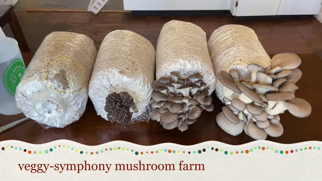 初次种植灰蚝菇,记录灰蚝菇生长阶段第一篇[内涵少部分图片]